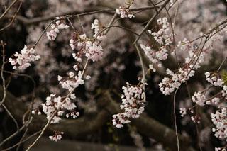本覚寺、枝垂桜