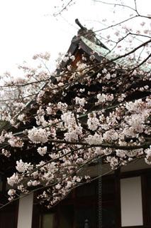 報国寺、桜