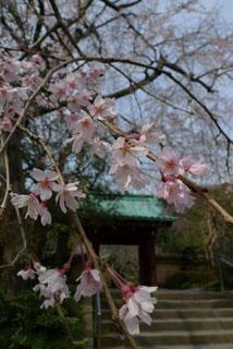 光則寺、枝垂桜