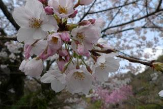 桜、光則寺