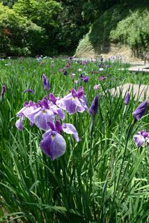 明月院 菖蒲苑