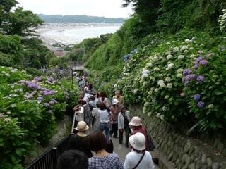 成就院 紫陽花の参道