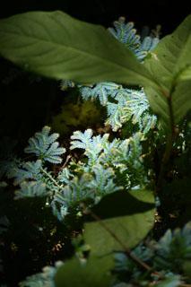 瑞泉寺 光る植物